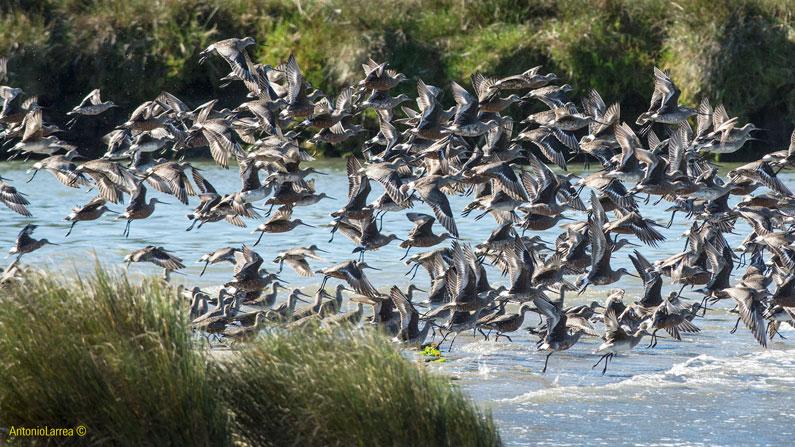 Implementación de Acciones de Monitoreo Biológico y Construcción de Indicadores de Conservación sobre dos Áreas Abarcadas por el Plan de Conservación de Aves Playeras Migratorias de Chiloé