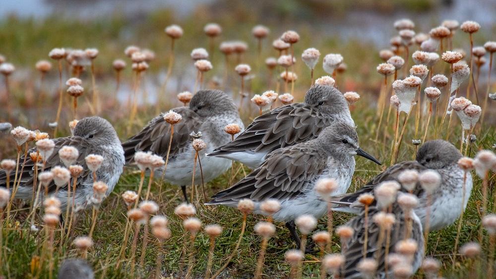Un homenaje a las aves playeras: las épicas viajeras que sufren alarmante declive a nivel mundial