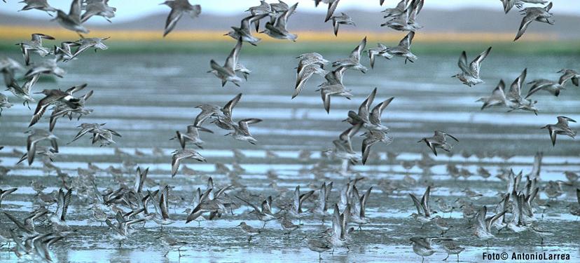 Diseño de un Plan de Rescate de Aves en el Sitio Ramsar Bahía Lomas (Tierra del Fuego, Región de Magallanes y Antártica Chilena, Chile)